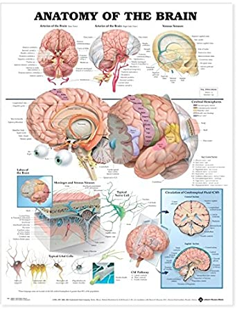 ANATOMY OF THE BRAIN - ANATOMICAL CHART